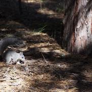 Écureuil à Wawona (Yosemite)